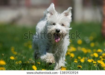 Small white fluffy Miniature Schnauzer (Zwergschnauzer) dog running on green grass with yellow flowers #1385933924