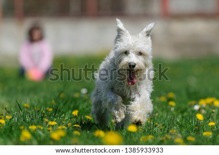 Small white fluffy Miniature Schnauzer (Zwergschnauzer) dog running on green grass with yellow flowers with litthe girl in the background #1385933933
