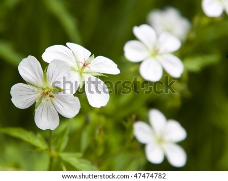 Small white Geraniums in Rocky Mountains