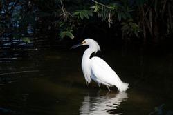 Small white heron, black beak and legs, fingers and detail between beak and yellow eye. Bird in lake and dark background.