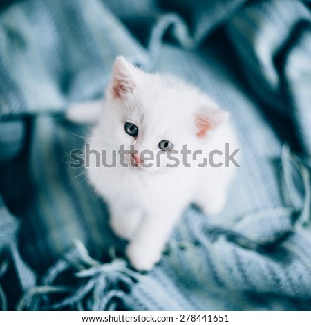Small white kitty on blue background. Kitty is very cute./Small white kitty