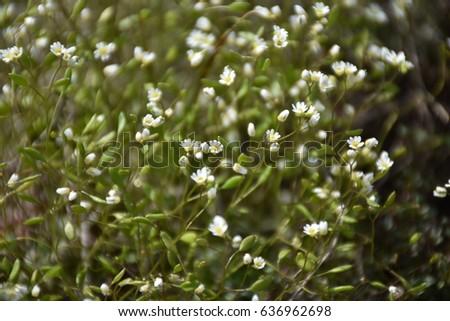 Small White Mountain Flowers Ez Canvas