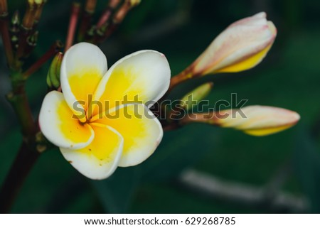 Free photos yellow flower 5 petals avopix small white plumeria flower with yellow center and five petals shallow depth of field with mightylinksfo