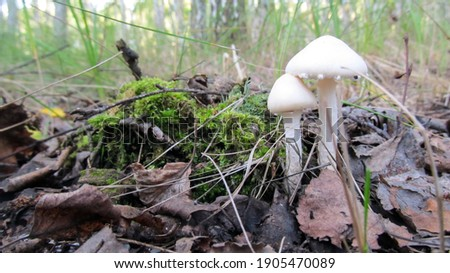 small white poisonous mushroom on green moss in the forest                             Stok fotoğraf ©