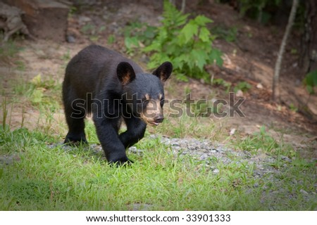 small wild bear cub walking on a path