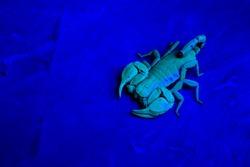 Small wood-scorpion (Euscorpius sp.) wild animal macro portrait under UV light. Liguria. Italy.