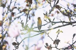 Small yellow bird on blossom tree closeup. Birds photography