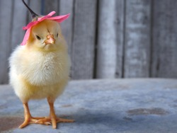 Small yellow chicken with a pink flower.