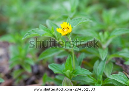 Small yellow flower. Small yellow flowers in full bloom grass.