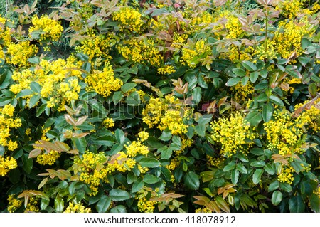 Free Photos Small Yellow Flowers Mahonia In Spring Morning Avopix