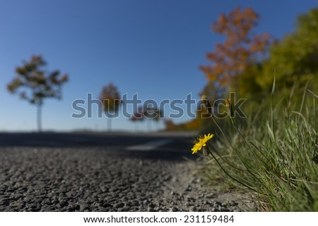 small yellow wild flower on side of rural asphalt road in autumn