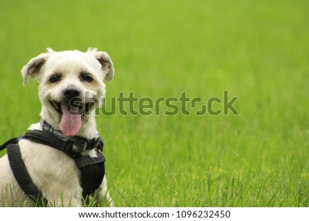 Small yorkie shih-tzu known as a shorkie dog panting in grass with copy space. great picture for book cover, magazine or blogs.