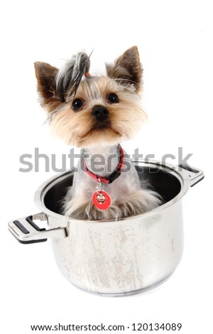 small yorkie (yorkshire terrier) in the pot