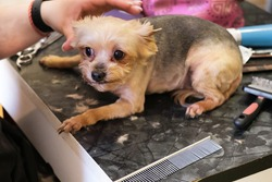 Small Yorkshire terrier dog is very much afraid of haircuts on the groomer's table. Care for purebred dogs, groomer services, pet hair care. Dog grooming process. Selective focus, blurred background