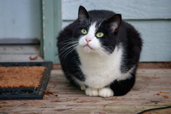 small young black and white cat with green eyes watches things from the porch