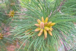 Small young cones looks like amazing flowers on pine tree branches, closeup. Growing beautiful pine cones among pine needles. Trees on wild nature, pine's life cycle morphology.