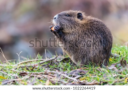 Small young coypu eating a carrot. On background is a river. Natural environment. Also known as nutria or Myocastor coypus.
