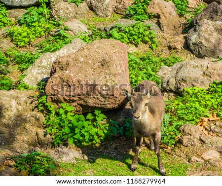 small young european horned baby chamois mountain goat standing in front of some rocks in the mountains