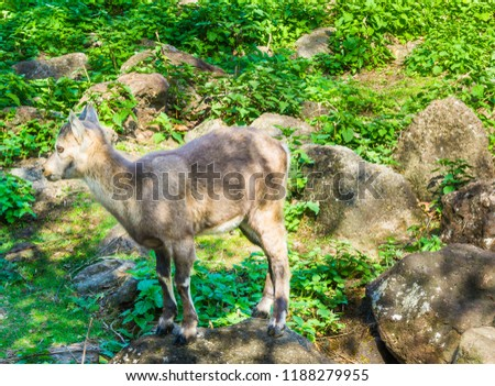 small young european horned baby chamois mountain goat standing on a rock portrait close up