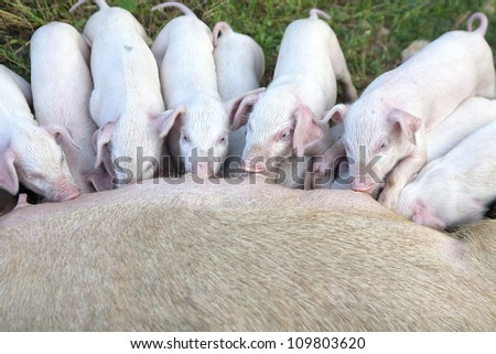 small young piglets, sucking in the open