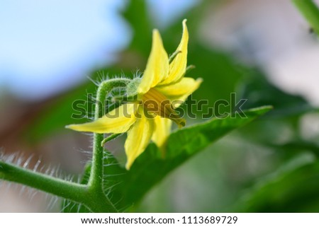Small young yellow organic tomato blossoms on plant