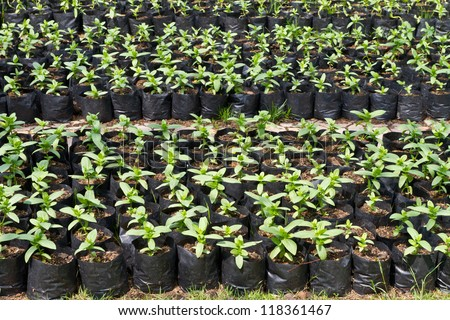 Small Zinnia flower in greenhouse nursery