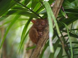 Smallest Primate, Philippine Tarsier, Bohol Island Attraction, Endangered Species