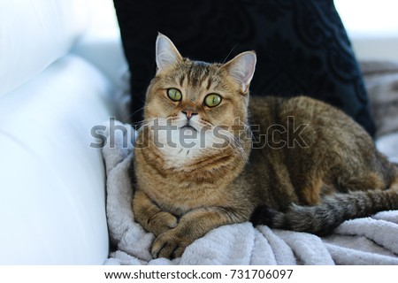 Smart cat looking at the camera. Golden shaded British short-hair purebred male cat. Hazel eyes. Indoor cat resting on a sofa.