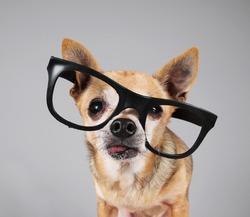 smart chihuahua wearing glasses