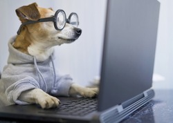 smart concentrated dog is working on project online. Using computer laptop. Pet wearing glasses and hoodie. Freelancer work from home during quarantine Social distancing lifestyle. Busy smart ass