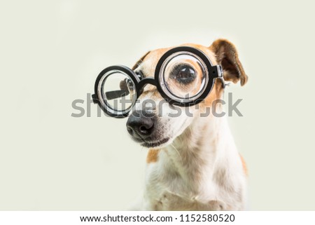 05167446784 smart cute dog jack russell terrier in glasses. lovely nerd pet. back to  school · jack russell terrier on white background with glasses for swimming  ...