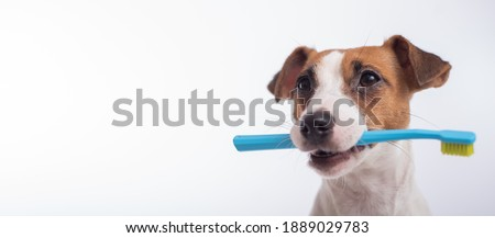 Smart dog jack russell terrier holds a blue toothbrush in his mouth on a white background. Oral hygiene of pets. Wide screen ストックフォト ©