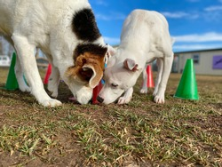 Smart dogs playing the scent work memory brain work game searching for food under the bright colorful cones outside in the grass at the fear free canine enrichment boarding and training center