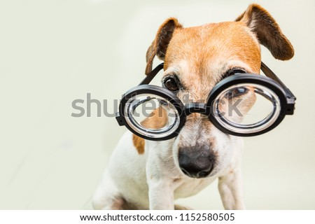 2db2e12d8f1 smart educated dog in glasses. Funny pet jack russell terrier  1152580505