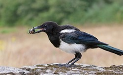 Smart eurasian magpie (Pica pica) holding a stag beetle prey in its beak. Young beautiful intelligent raven playing and grabbing things. Clever predator bird hunting with natural background.