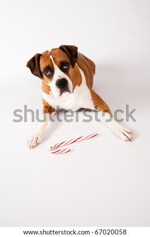 Smart Fawn Colored Dog Guarding Candy Cane on White Background