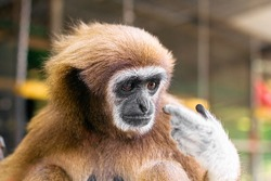 Smart funny ape monkey looking on his finger and thinking
