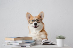 Smart funny corgi dog in glasses  sitting with books, reading and studying smiling on white background