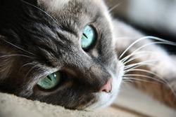 smart look green-eyed cat lying