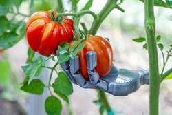 Smart robot farmer harvesting tomatoes in greenhouse, agriculture futuristic concept, android robot arm close up