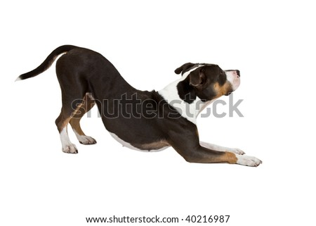 smart staffordshire terrier