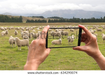 smartphone travel taking picture of herd of sheep - New Zealand - travel and exploration concepts