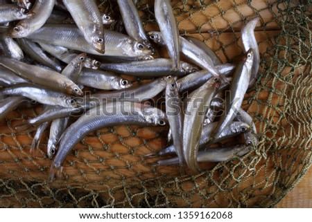 Smelt fishes on net (Pacific little smelt)