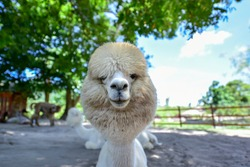 Smile alpaca with tree and blue sky background.