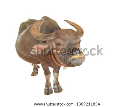Smile Buffalo with big teeth (nature no graphic) Anoa, or midget buffalo isolate with clipping patch on white background.