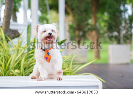 Smile cute white dog with orange necktie sit on white table in garden. #643619050