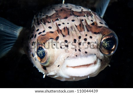 smile of balloon fish