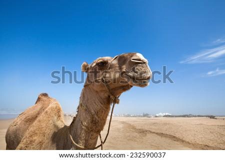 smile of camel
