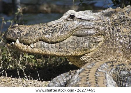 Smiling Aligator - Everglades National Park, Florida.