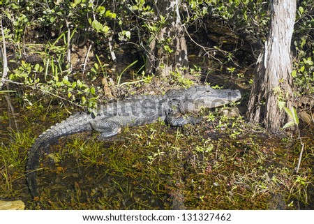 Smiling alligator lies in Big Cypress Swamp in the Everglades National Park, USA, Florida